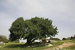 T-099 Carob tree in Tel Shimron