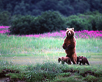 An Alaskan brown bear parent standing on its hind legs guards her two young cubs in Katmai National Park and Preserve.