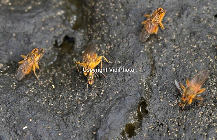 Foto: VidiPhoto..HERVELD - Betrapt tijdens een wipje in de poep, oftewel: seks op de mestvaalt. April is de maand dat strontvliegen (Scathophaga stercoraria) zich voortplanten. De paring vindt plaats in de buurt van een mestvlaai, waar het vrouwtje wordt opgepikt door het mannetje. Vervolgens legt het vrouwtje haar eitjes op de mest. De eitjes hebben vleugelachtige uitsteeksels die er voor zorgen dat ze niet in de verse mest wegzakken en verstikken..