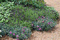 Dianthus, Lavandula spanish lavender herb, Salvia officinalis culinary sage, roses Rosa in fragrance herb flower garden growing in gravel