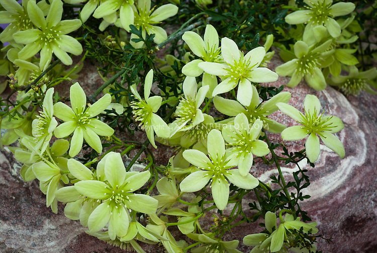 Clematis 'Pixie' (Fo/m) green