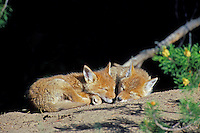 Two wild Coyote pups sleep on their den mound.  Western U.S., June.