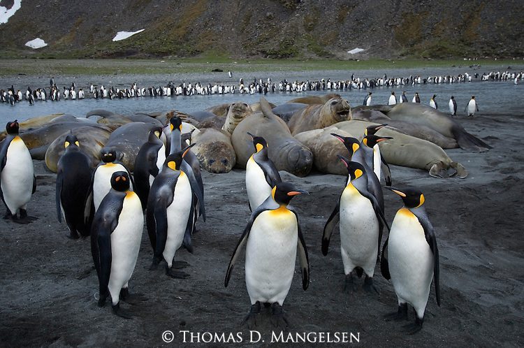 King penguins and Southern elephant seals at a beach in Gold Harbour on South Georgia.