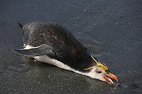 Royal Penguin (Eudyptes schlegeli) collecting a stone, Macquarie Island.