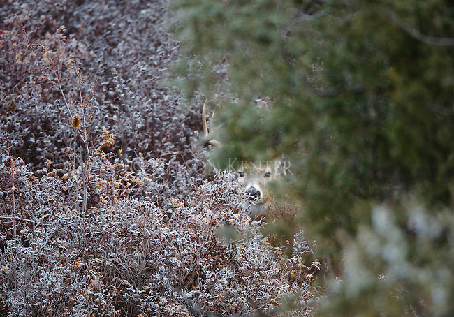 Whitetail buck peeking between brush and trees in Montana