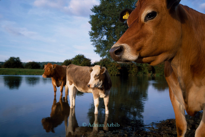 cows standing in the River Thames, Port Meadow, Oxford