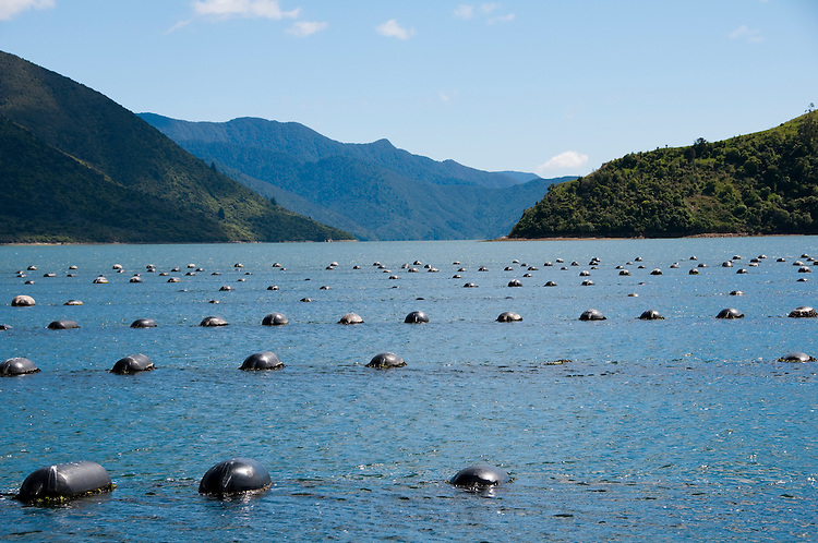 New Zealand, South Island, Green Mussel Cruise out of Havelock, Marlborough, on ship Odyssea to see mussel farming and scenery in Kenepuru Sound. Photo copyright Lee Foster. Photo #126224