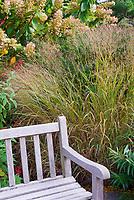 Ornamental grass Panicum virgatum 'Shenandoah' in fall garden with hydrangea, garden bench, Salvia elegans pineapple sage