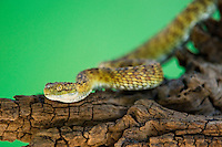 489040013 a captive broadleys bush viper atheris broadleyi sits coiled on a tree limb species is native to africa