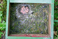Blaumeise, Küken im Nest, Nistkasten, Blau-Meise, Meise, Jungvögel, Cyanistes caeruleus, Parus caeruleus, Blue Tit, Mésange bleue