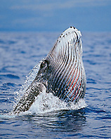 Humpback Whale newborn calf breaching with pleats expanded, Megaptera novaeangliae, note red eye, Hawaii, Pacific Ocean.