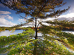 Big old Pitch Pine tree on a shore of lake George, fall nature scenery, Killarney, Ontario, Canada.