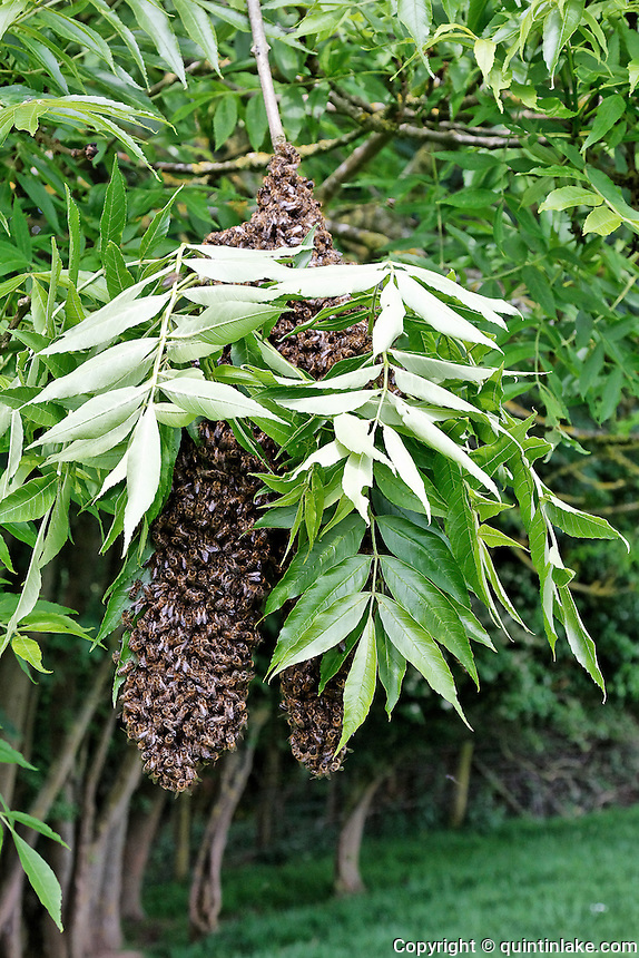 Honey Bee Swarm on a branch in a field near Postlip, Gloucestershire