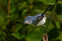 536300008 a wild blue-gray gnatcatcher polioptila caerulea perches on a tree branch with a spider web in its beak near a pond in jasper county texas