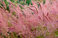 """""""Red tasseled grass"""" in Upcountry Maui, Maui"""