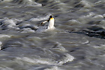 King penguin wading through a glacial river, South Georgia Island
