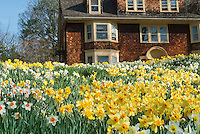 Spring Daffodils Narcissus naturalized in spring bloom in masses of flowers with Colonial house with blue sky