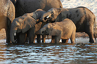 Thirsty elephants (loxodonta africana) at the Chobe River, Botswana.<br /> Chobe National Park is full of elephants - at times an estimated 25.000 animals along 42 kilometers of river front. The huge number of hungry elephants have a disastrous impact on the forest - many areas looks like a moon landscape.<br /> September 2007.