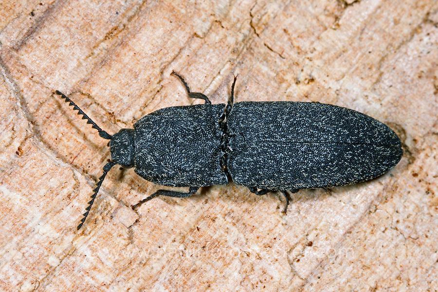 Weißschuppiger Schnellkäfer, Lacon punctatus, Brachylacon punctatus, click beetle, Lacon ponctué, Schnellkäfer, Elateridae, Click beetles