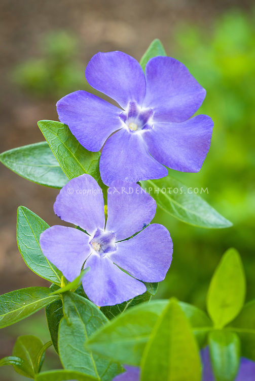 Vinca minor 'La Grave' aka Bowles Blue in spring bloom