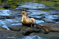 Sea lions and fur seals live in large colonies in the Galápagos Islands. While often found lounging around on sandy shores and rock platforms, the extroverted and playful Galápagos sea lion is thought to have a population of 50,000 and can be seen on every island.