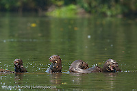 Giant Otters (Pteronura brasiliensis), family group at the edge of an oxbow lake, eating fish, lowland tropical rainforest, Manu National Park, Madre de Dios, Peru.