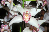 Cymbidium Alexalban 'The Bride', AM/AOS white orchid hybrid corsage orchid, with pink spotted lip, detail of one solitary flower