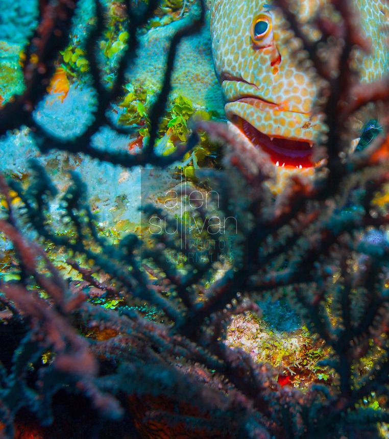 Rock hind bass (epinephelus adscensionis) behind black sea fan; Roatan, Honduras.