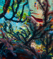 Rock hind bass (epinephelus adscensionis) behind black sea fan; Roatan, Honduras.