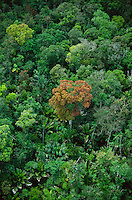 Emergent tree with reddish young leaves in floodplain forest in Marajo Island, Amazon estuary region, Brazil, Para.