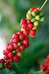 Kona Coffee, Island Of Hawaii, Hawaii, USA<br />