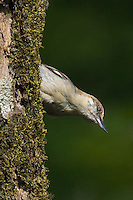 561210005 a wild brown-headed nuthatch sitta pusilla perches on a long-leaf pine pinus palustris in the angelina national forest in jasper county east texas