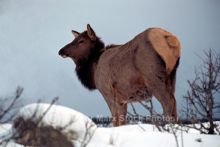 Canadian Rockies, Canada - Elk Cow, Wapiti (Cervus canadensis) standing in Meadow, Winter