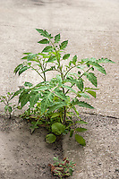 Tomato plant growing out of a crack in concrete pavement.