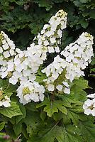 Hydrangea quercifolia  Oak leaf Hydrangea in bloom