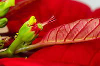 A single female poinsettia flower with stigma, style, and ovary can be seen emerging from its involucre (cluster of bracts fused together).  The involucre also has a nectar gland emerging from it (that look like two lips).  The entire inflorescence (involcure and female flower) is called a cyanthium.  The red leaves surrounding the inflorescences (mostly out of focus, except for the one next to the female flower) are bracts.