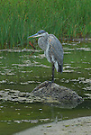 great blue heron in lagoon