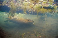 North American Beaver (Castor canadensis) transporting limb back to lodge area for winter food.  Western U.S., fall.  This is one of many canals the beaver has dug into the area where it cuts down trees for food.  Here it is diving under a log.