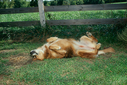 Golden Retriever dog rolling in the grass belly up