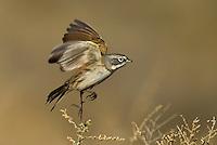 Birds: songbirds N-S (common names)