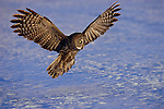 Boasting the largest wingspan of any other North American owl, a great gray brakes, zeroing in on its prey on the frozen plains of northern Minnesota.