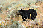 Black Bear, Elk Creek, Yellowstone National Park, Wyoming
