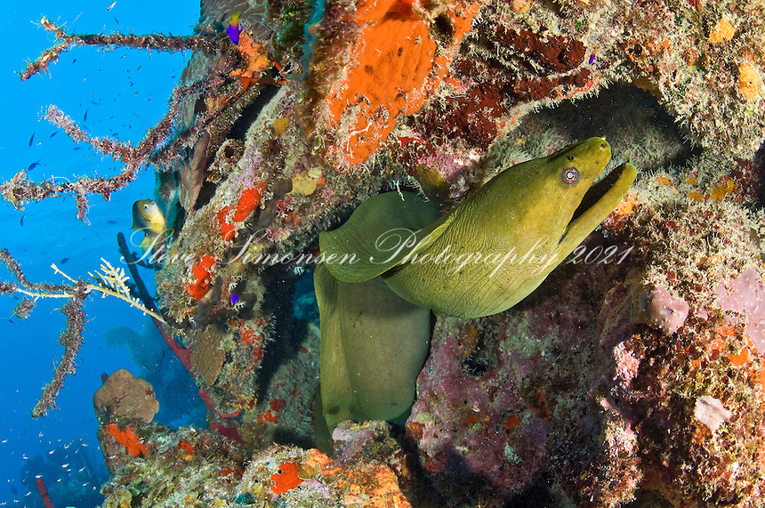 Green Moray Eel<br /> North Star dive site along the wall <br /> Cane Bay, St. Croix, <br /> US Virgin Islands