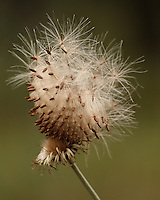 A ball of thistle seed that has fallen onto a bare thistle head below.