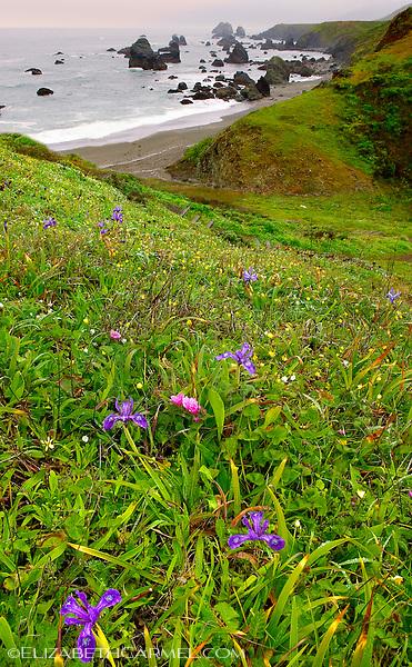 Wild Iris, Sonoma Coast