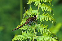Große Moosjungfer, Große Moorjungfer, Leucorrhinia pectoralis, Leucorhinia pectoralis, Large white-faced darter, yellow-spotted whiteface