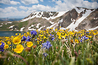 Wildflowers blooming in the alpine habitat of the Beartooth Mountains