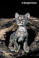 MA26-003z  Bobcat - young - Felis rufus