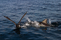 Great White Shark (Carcharodon carcharias) attacking a Giant Petrel off South Africa.