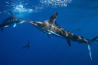 qf0196-D. Striped Marlin (Tetrapturus audax). Baja, Mexico, Pacific Ocean..Photo Copyright © Brandon Cole. All rights reserved worldwide.  www.brandoncole.com..This photo is NOT free. It is NOT in the public domain. This photo is a Copyrighted Work, registered with the US Copyright Office. .Rights to reproduction of photograph granted only upon payment in full of agreed upon licensing fee. Any use of this photo prior to such payment is an infringement of copyright and punishable by fines up to  $150,000 USD...Brandon Cole.MARINE PHOTOGRAPHY.http://www.brandoncole.com.email: brandoncole@msn.com.4917 N. Boeing Rd..Spokane Valley, WA  99206  USA.tel: 509-535-3489